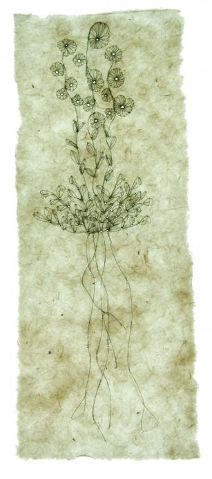 http://jennabonistalli.com/files/gimgs/th-9_5L_Compass-Plant_v2.jpg